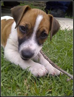 Joe - Jack Russel x puppy